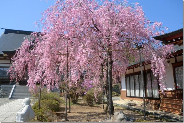 26桜満開①