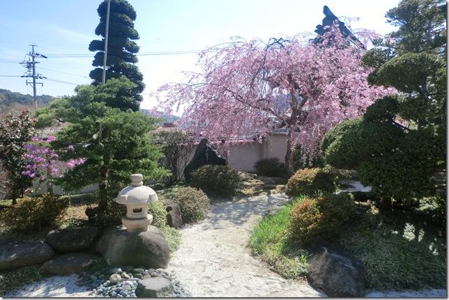 26桜満開②